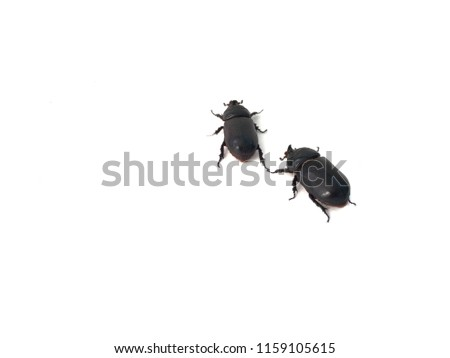 Coconut rhinoceros beetle on over white background. Indian rhinoceros beetle,or Asian rhinoceros beetle,or Oryctes rhinoceros.It is a very dangerous insect pest of palm and coconut.