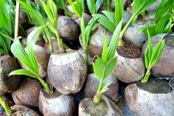 Coconut seedlings.