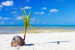Coconut sprout growing on a tropical beach