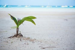 Coconut sprout growing on a white sand tropical beach