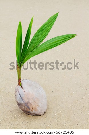 Coconut sprout on the beach