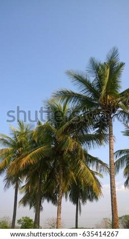 Coconut tall trees #635414267