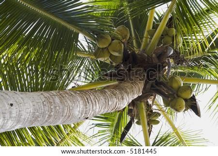 Coconut tree and coconuts at Los Gatos Beach Zihuatanejo, Mexico
