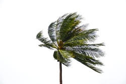 Coconut tree blowing in the wind isolated in white background. Palm tree branches blowing in the wind isolated on white background.
