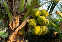 Coconut tree, Cocos nucifera,  palm tree family
