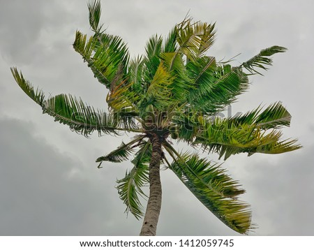 Coconut tree in windy weather