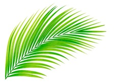 coconut tree isolate on white background clipping path