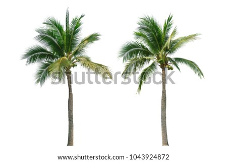 Coconut tree isolated on white background. Foto stock ©