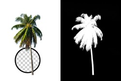 Coconut Tree on transparent background with clipping path and alpha channel on black background. Can use in architectural design, Decoration work, Used with natural articles both on print and website.
