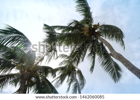 Coconut tree shaking and swaying in windy weather