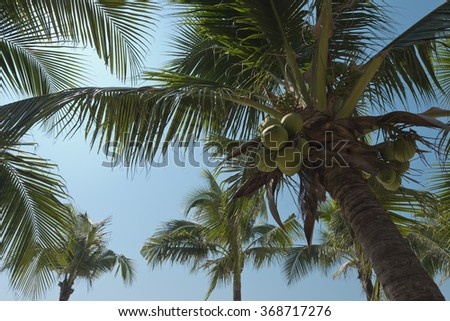 Coconut tree under blue sky. Coconut palm trees perspective view.