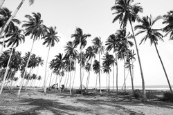 Coconut tree view in black and white with vintage effect