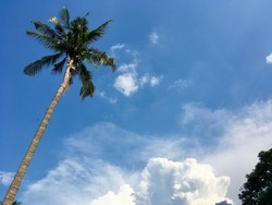 coconut tree with the sky