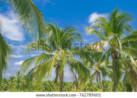 Coconut trees and leaves  with coconut palm trees forest and blue sky background  #762789601