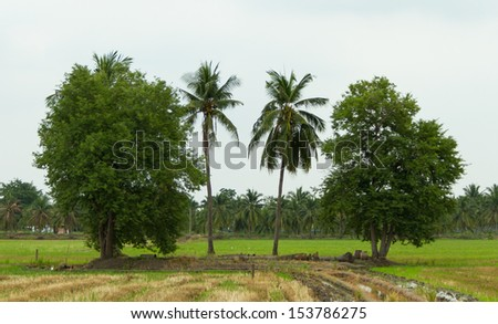 Coconut trees and tamarind trees on the rice field