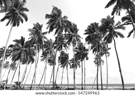 Coconut trees at tropical beach. Black and white photography.