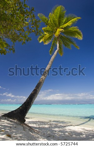 Coconut trees on moorea in south seas - stock photo