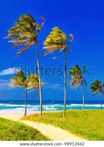 Coconut trees on the beautiful cuban beach of Varadero