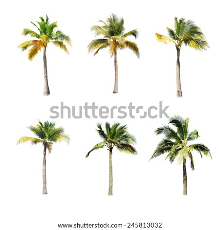 coconut trees on white background  - Shutterstock ID 245813032