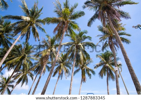 Coconut trees or palm tree. Royalty high-quality free stock photo image of coconut trees or palm tree with view up or bottom view in sunshine.  Lush green foliage, coconut trees, sunlight upper view