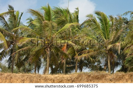 Coconut trees with blue sky in the background. Beautiful landscape. Secluded beach with palm trees. Stunning African nature. Panoramic skyline.
