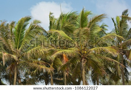 Coconut trees with blue sky in the background. Close up. Wonderful landscape. Stunning tropical nature. Beautiful background with palm trees and blue sky.