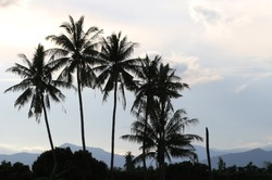 Coconut trees with shadows