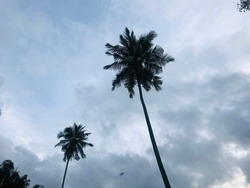 Coconut trees with white sky