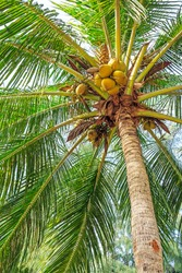 Coconuts and palm fronds of a tree