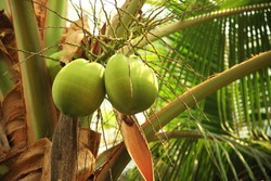 Coconuts growing on branches, coconut trees,