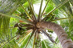 Coconuts on a coconut tree