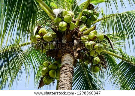coconuts on a tree, digital photo picture as a background