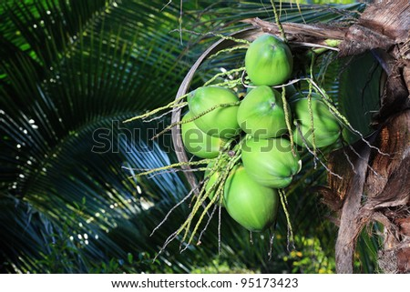 coconuts on tree.