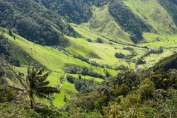 Cocora Valley, landscape of Quindio, which is nestled between mountains of the Cordillera Central, Colombia. Predominates of Quindio wax palm, Colombia's national tree. Zone of high quality coffee.