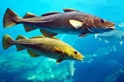 Cod fishes swimming underwater, Norway.