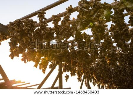 Codfish drying on traditional drying racks in Lofoten, Norway during the midnight sun.