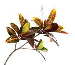 Codiaeum variegatum (garden croton or variegated croton) foliage with flowers, Croton leaves on branch isolated on white background with clipping path