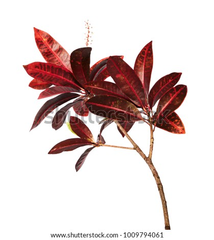 Codiaeum variegatum (garden croton or variegated croton) foliage with flowers, Croton leaves on branch isolated on white background with clipping path #1009794061