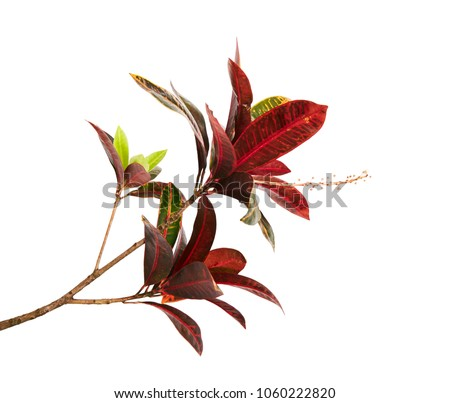 Codiaeum variegatum (garden croton or variegated croton) foliage with flowers, Croton leaves on branch isolated on white background with clipping path #1060222820