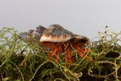 Coenobita clypeatus walks on moss with grey background, hermit crabs with grey background
