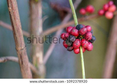 Coffea arabica cherry. A flowering plants which seeds, called coffee beans. Growth at  tropical Asia, Central and South America, the Caribbean and Africa.