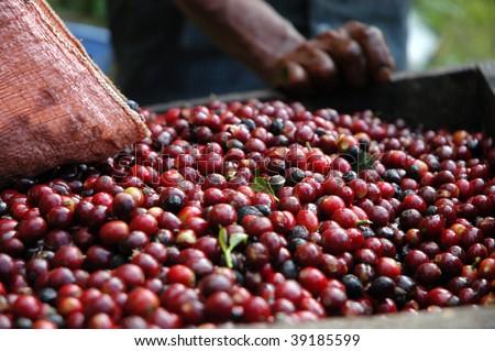 Coffee beans - Guatemala