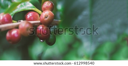 Coffee beans on coffee tree, branch of a coffee tree with ripe fruits with dew. Concept Image.