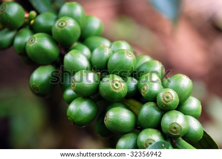 Coffee beans on the plant, plateau Bolaven, Laos