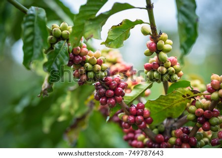 Coffee beans on tree #749787643