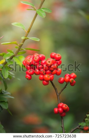 Coffee beans ripening on tree in North of thailand, nature background #725723638