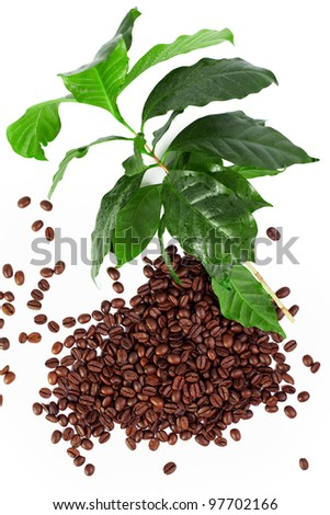 coffee beans with fresh coffee arabica branch isolated on white