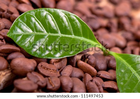 coffee beans with fresh coffee plant