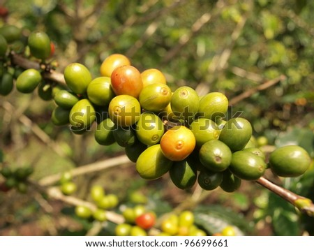 Coffee berries on bush branch