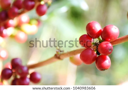 Coffee berries on tree and leaf coffee in farm. #1040983606